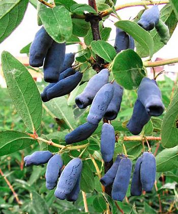 Pěstování borůvek